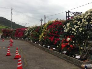 駐車場のバラ